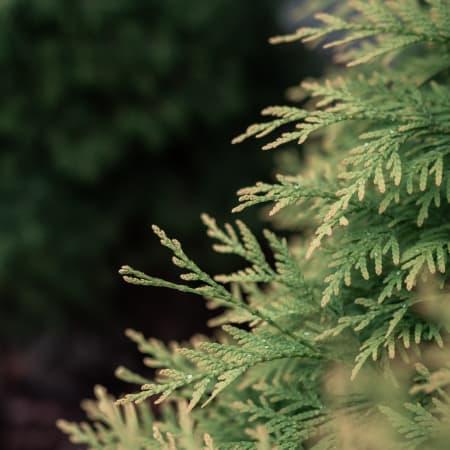 cedarwood essential oil nz