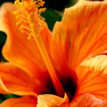 hibiscus plum aroma oil